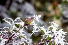 Rosa congelada com geada da manhã Imagens de Stock Royalty Free