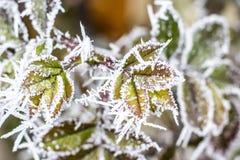 Rosa congelada com geada da manhã Fotografia de Stock