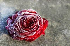 Rosa congelada do vermelho no fundo de pedra Imagens de Stock Royalty Free