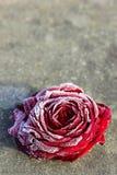 Rosa congelada do vermelho no fundo de pedra Fotografia de Stock Royalty Free