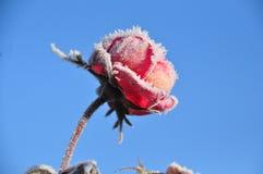 Rosa congelata Fotografia Stock