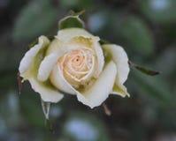 Rosa congelata fotografie stock