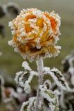 Rosa congelata immagine stock