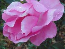 Rosa cor-de-rosa 02 Imagens de Stock Royalty Free