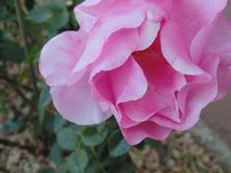 Rosa cor-de-rosa 03 Imagem de Stock Royalty Free