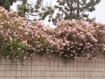 Rosa cor-de-rosa cor-de-rosa Imagens de Stock Royalty Free