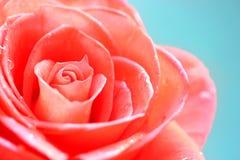 Rosa cor-de-rosa bonita foto de stock royalty free