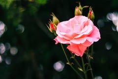 Rosa cor-de-rosa bonita para o dia de Valentim, conceitos do amor imagens de stock