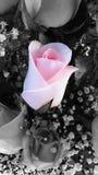 Rosa cor-de-rosa macia foto de stock