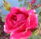 Rosa cor-de-rosa macia, bonita Imagem de Stock