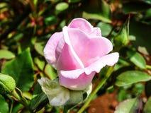 A Rosa cor-de-rosa Na ?a FASE DA FLORESCÊNCIA fotografia de stock