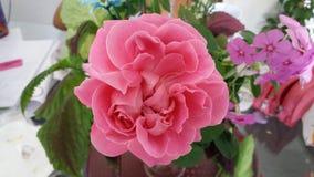 Rosa Cor de Rosa royalty-vrije stock fotografie