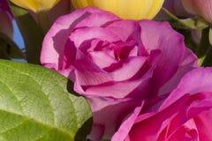 Rosa cor-de-rosa Foto de Stock