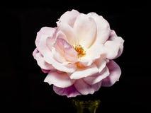 Rosa cor-de-rosa (2) Imagens de Stock Royalty Free
