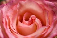 Rosa cor-de-rosa fotografia de stock royalty free