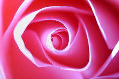 Rosa cor-de-rosa Imagens de Stock Royalty Free