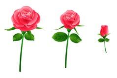 Rosa cor-de-rosa bonita Imagem de Stock