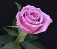 Rosa cor-de-rosa bonita Fotografia de Stock