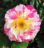 rosa Cor-de-rosa-branca Imagem de Stock