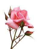 Rosa cor-de-rosa com botões Fotos de Stock Royalty Free