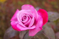 Rosa cor-de-rosa com pétalas vermelhas Imagem de Stock Royalty Free