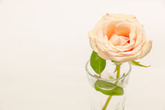 Rosa cor-de-rosa, contrata o anel com amor no dia de Valentim Fotografia de Stock Royalty Free
