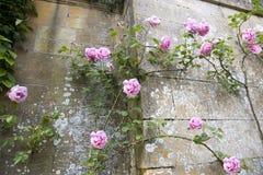 Rosa cor-de-rosa de escalada Fotos de Stock