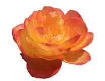 Rosa cor-de-rosa e amarela isolada Imagens de Stock
