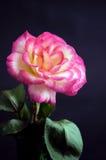 Rosa cor-de-rosa e branca Bk preto Fotos de Stock