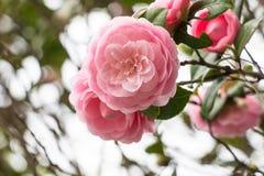 Rosa cor-de-rosa, a flor cor-de-rosa bonita na árvore Imagens de Stock Royalty Free