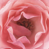 Rosa cor-de-rosa, largamente aberta Imagem de Stock Royalty Free