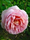 Rosa cor-de-rosa macia Imagens de Stock