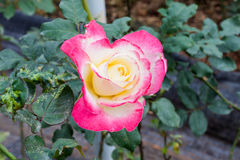 Rosa cor-de-rosa no jardim Fotografia de Stock Royalty Free