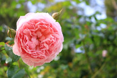 Rosa cor-de-rosa no jardim Foto de Stock Royalty Free