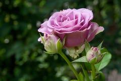 Rosa cor-de-rosa no jardim Imagem de Stock Royalty Free