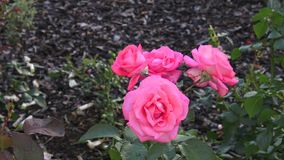Rosa cor-de-rosa no jardim Rosas cor-de-rosa no parque vídeos de arquivo