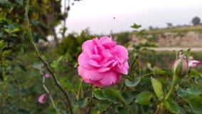 Rosa cor-de-rosa nos campos HD Fotos de Stock Royalty Free