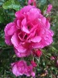 Rosa cor-de-rosa Orvalho-beijada no fundo verde Fotos de Stock