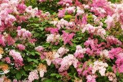 Rosa coreano enano del meyeri del Syringa de la lila y flores púrpuras, y foto de archivo