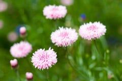 Rosa Cornflowers Stockfoto