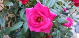 Rosa corveta pequena foto de stock