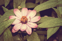 Rosa Cosmea blomma Royaltyfri Bild