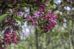 Rosa crabapple, das im Schatten der Bäume blüht stockbild