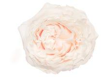 Rosa Cream-colored isolada no fundo branco Fotografia de Stock