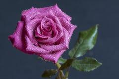 Rosa cremisi Fotografie Stock