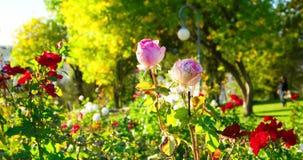 Rosa cremosa do rosa em plantas de morte do jardim do outono vídeos de arquivo