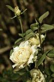 Rosa crescente do branco de jardim no fundo escuro Fotografia de Stock Royalty Free