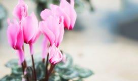 Rosa cyklamen i en blomkruka på suddig bakgrund arkivbilder