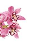Rosa Cymbidiumorchideenblume Lizenzfreie Stockfotografie
