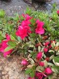 Rosa czerwień zdjęcia royalty free